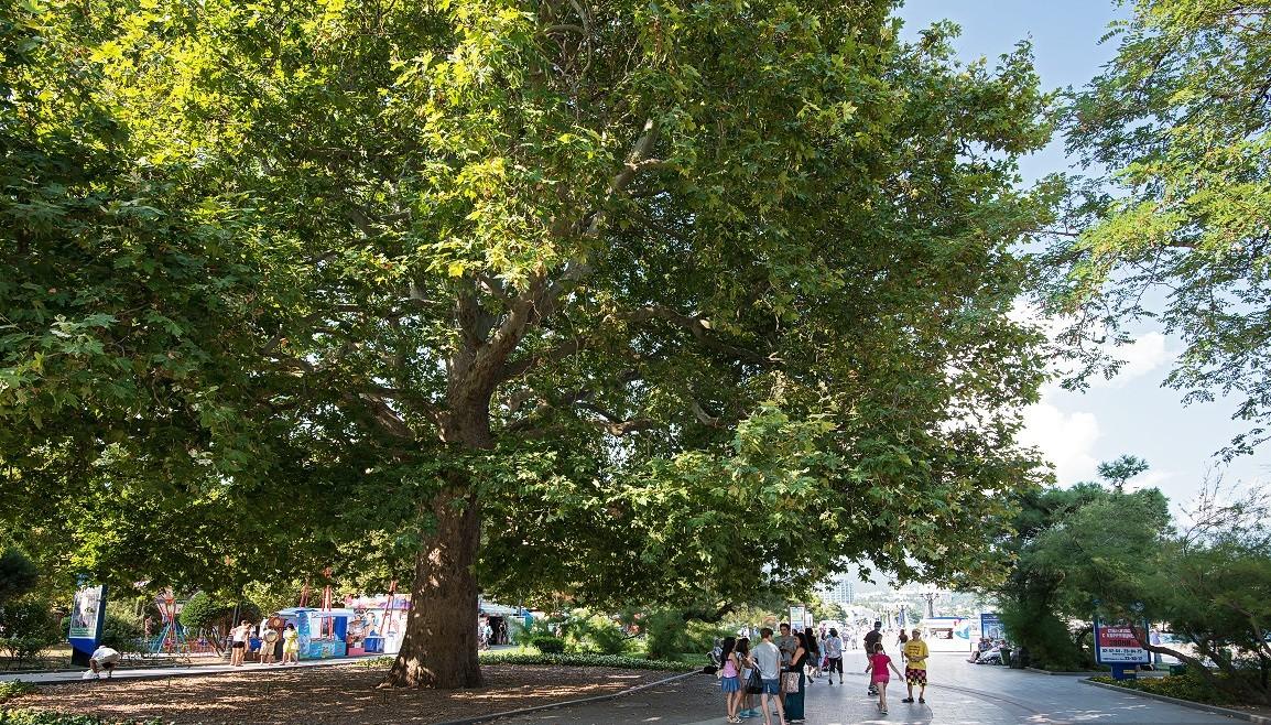 дерево-памятник